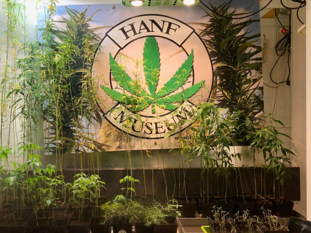 """Das Titelfoto der 9. Folge des museumbug-Podcast zeigt viele kleine, dünne und lang gewachsene Hanfpflanzen hinter einem Schaufenster. Das Fensterglas ist unten etwas beschlagen. Hinter den Pflanzen hängt ein großes Plakat. Darauf steht """"Hanf Museum""""."""